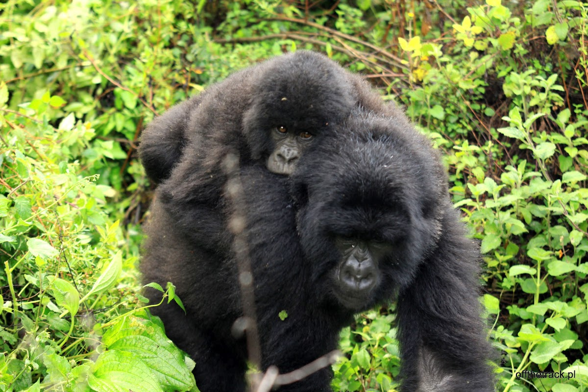 Matka z małym gorylem, The Virunga massif region, Uganda