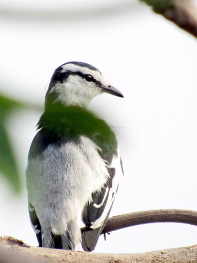 A Lone Pied Triller (Male)