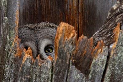Lapland uil.jpg