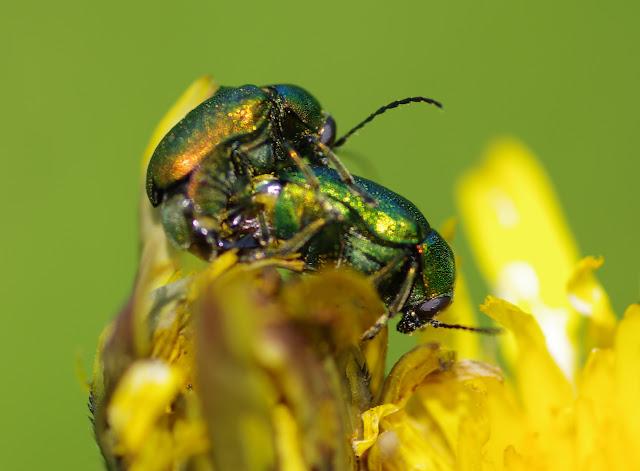 Chrysomelidae : Gastrophysa viridula DE GEER, 1775. Les Hautes-Lisières (Rouvres, 28), 24 mai 2012. Photo : J.-M. Gayman