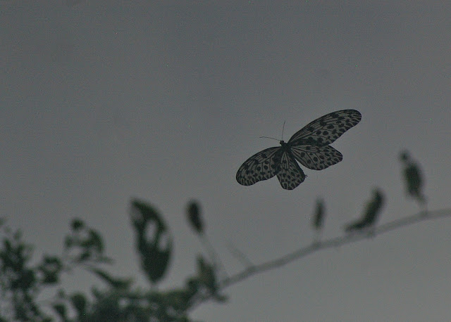 Idea stolli virgo FRUHSTORFER, 1903. Lot n°2, Sukau (Sabah), 13 août 2011. Photo : J.-M. Gayman