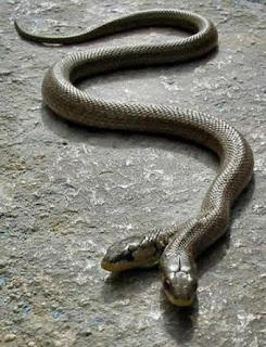 ular berkepala dua