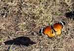 Plan Tiger, Danaus chrysippus i flugt2.jpg