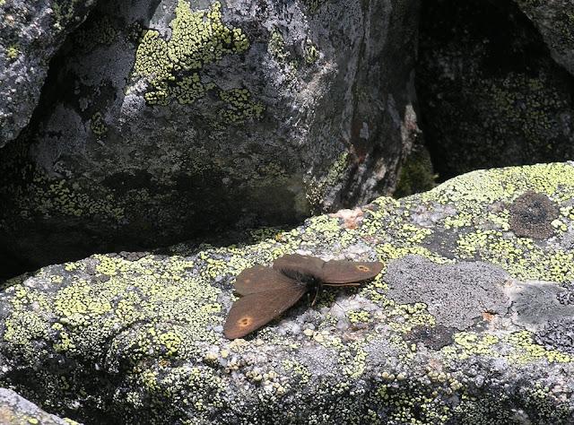 Erebia rossi CURTIS IN ROSS, 1834. Versant nord des Monts Katunskij, Ust'-Koksa District, Altaï. 1er juillet 2007. Photo : O. Kosterin