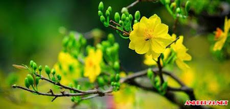 40 hình ảnh hoa mai, ảnh những gốc mai ngày tết 2017 đẹp nhất