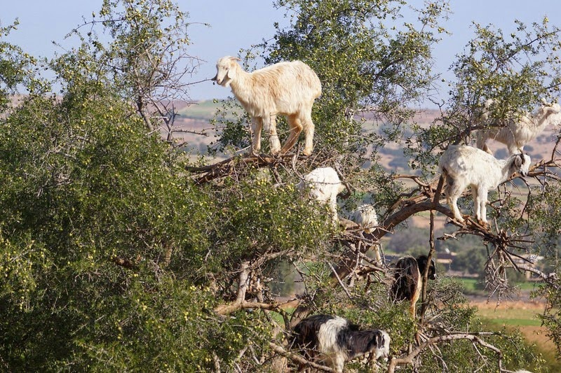 goats-argan-trees-2