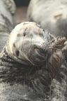 LAISSE TES ONGLES TRANQUILLES ! Le Phoque gris est un carnivore, et consomme une grande variété de poissons et de céphalopodes