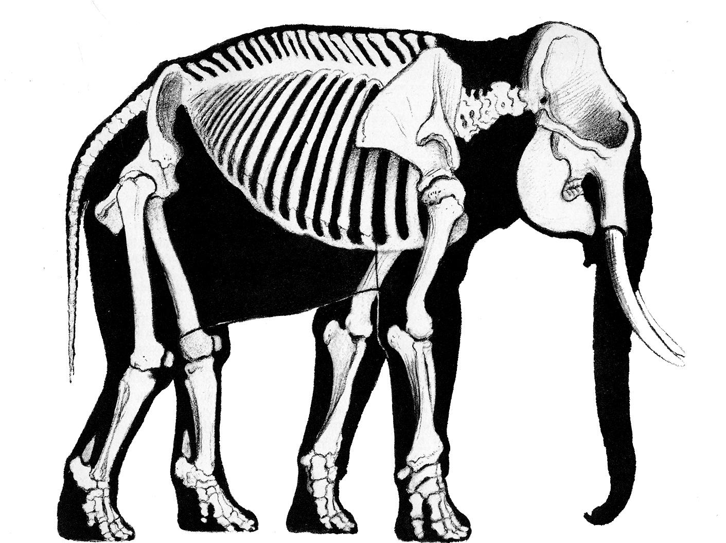 a history of skeletal drawings part 2 bone wars to the 1950 u0027s