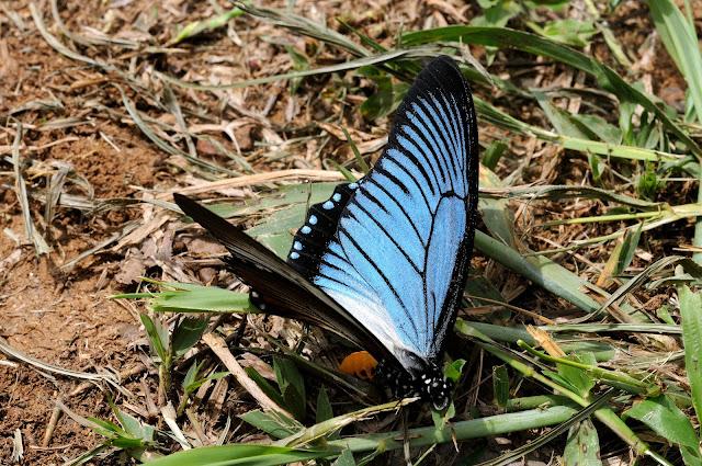 Papilio zalmoxis HEWITSON, 1864, mâle. Ebogo (Cameroun), 25 avril 2013. Photo : Daniel Milan