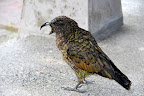 We saw a Kea, the world's only alpine parrot, while waiting for the power station tour.