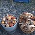 На Закарпатті розпочався сезон осінніх грибів