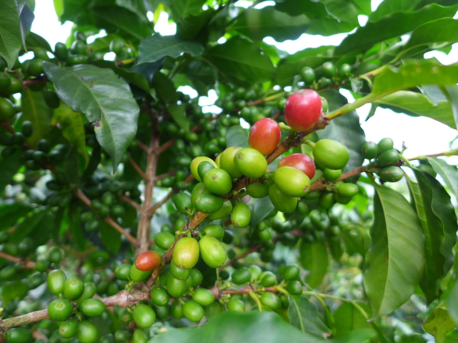 Colombia Nov 2015 :: Kaffee-Dreieck