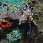 Blue ringed octopus at Gilia Biaha