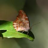 Myscelia orsis DRURY, 1782, mâle. Pulso (Ubatuba, SP), 21 février 2011. Photo : J.-M. Gayman