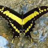 Papilio thoas cinyras MÉNÉTRIÉS, 1857. Confluent des ríos Mula Muerte et Zongo  (700 m), à l'ouest de Caranavi (Yungas, Bolivie), 17 décembre 2014. Photo : Jan Flindt Christensen