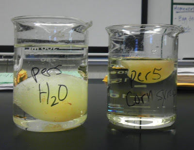 Egg osmosis demonstration - Ms. Jimenez Biology