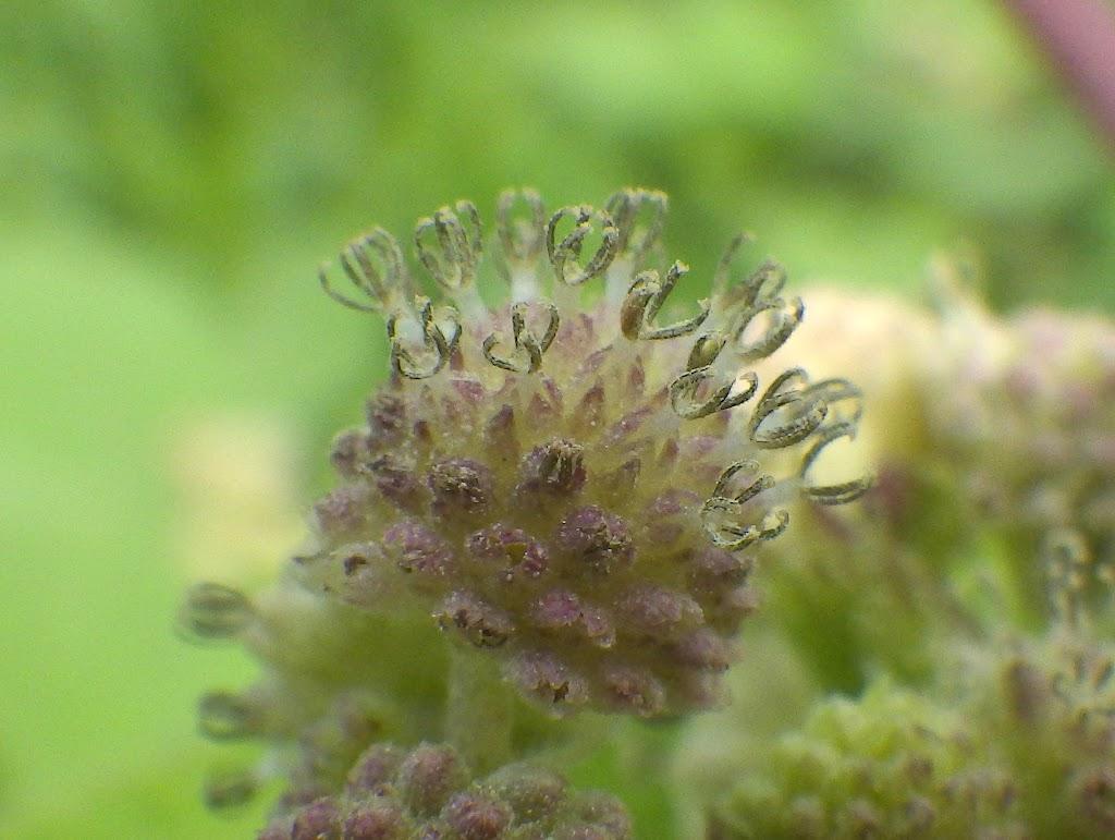 花の写真、雄花