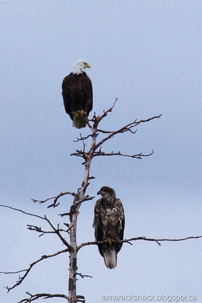 [eagle13%5B6%5D]