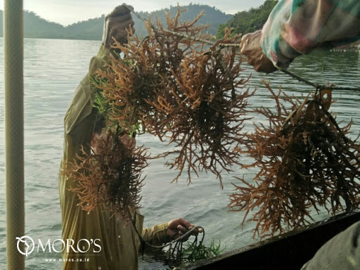 Moro's Seaweed Farm co. on Google