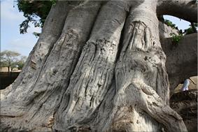 Tronco del Baobab
