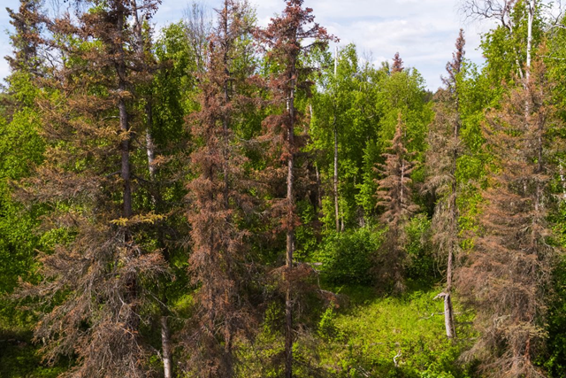 Spruce bark beetle-killed trees stand in the boreal forest along Knik-Goose Bay Road in Wasilla, Alaska, on 5 June 2018. Photo: Loren Holmes / ADN
