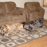 Dynamite Danes Family Album #2 - MY_DOGS_057.jpg