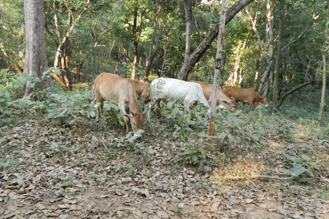 Livestock grazing in the Eastern Ghats forest. According to a study published in October 2017 in Ecological Indicators, the Eastern Ghats have lost 15.83 percent of their forest area over 95 years. Photo: Reshma M. Ramachandran