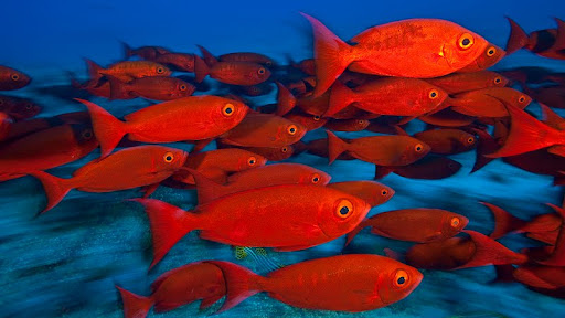 School of Goggle-Eyes, Maldives.jpg