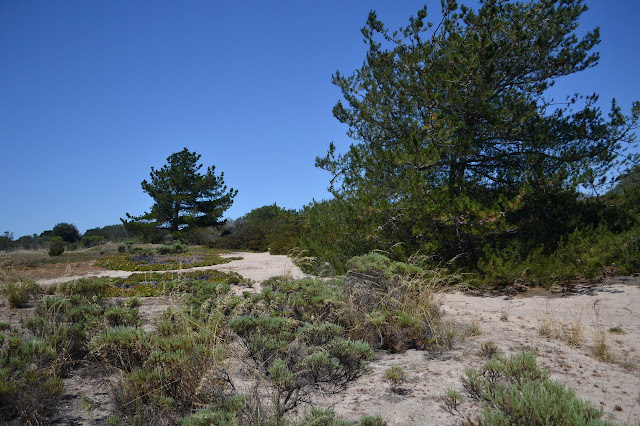 a couple pine trees along the trail