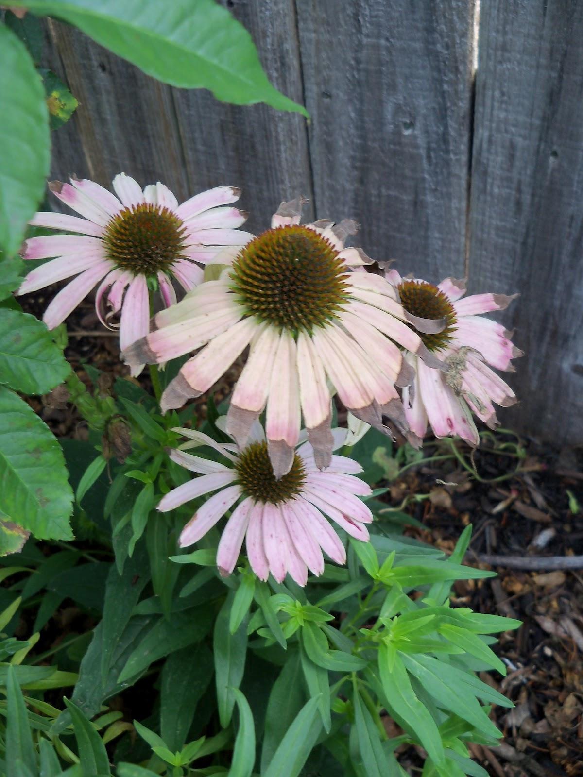 Gardening 2011 - 100_0131.JPG