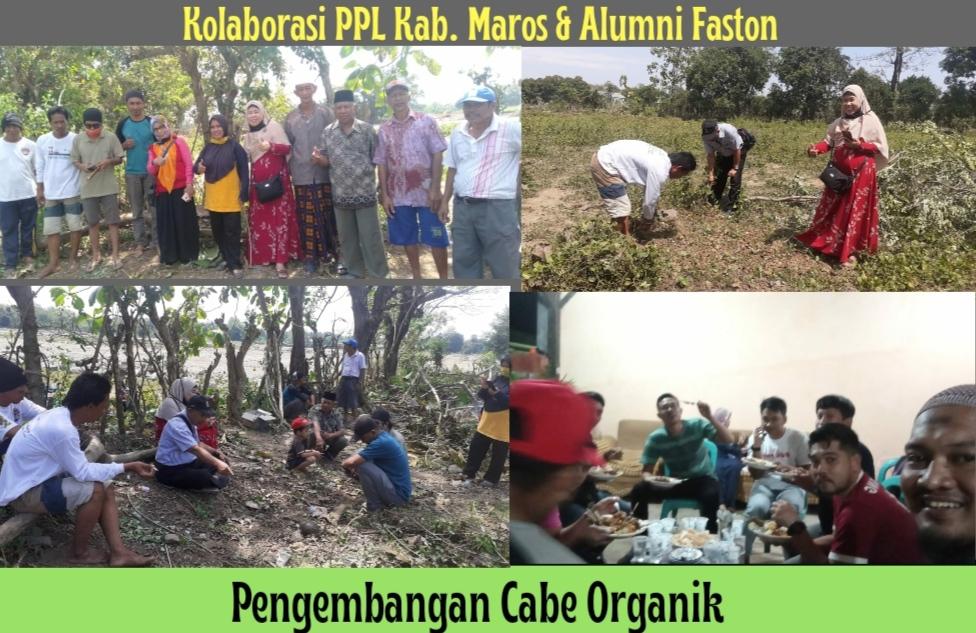 Manfaatkan Lahan Tidur,  PPL Kab.Maros Berkolaborasi Alumni Faston Kembangkan Cabe Organik