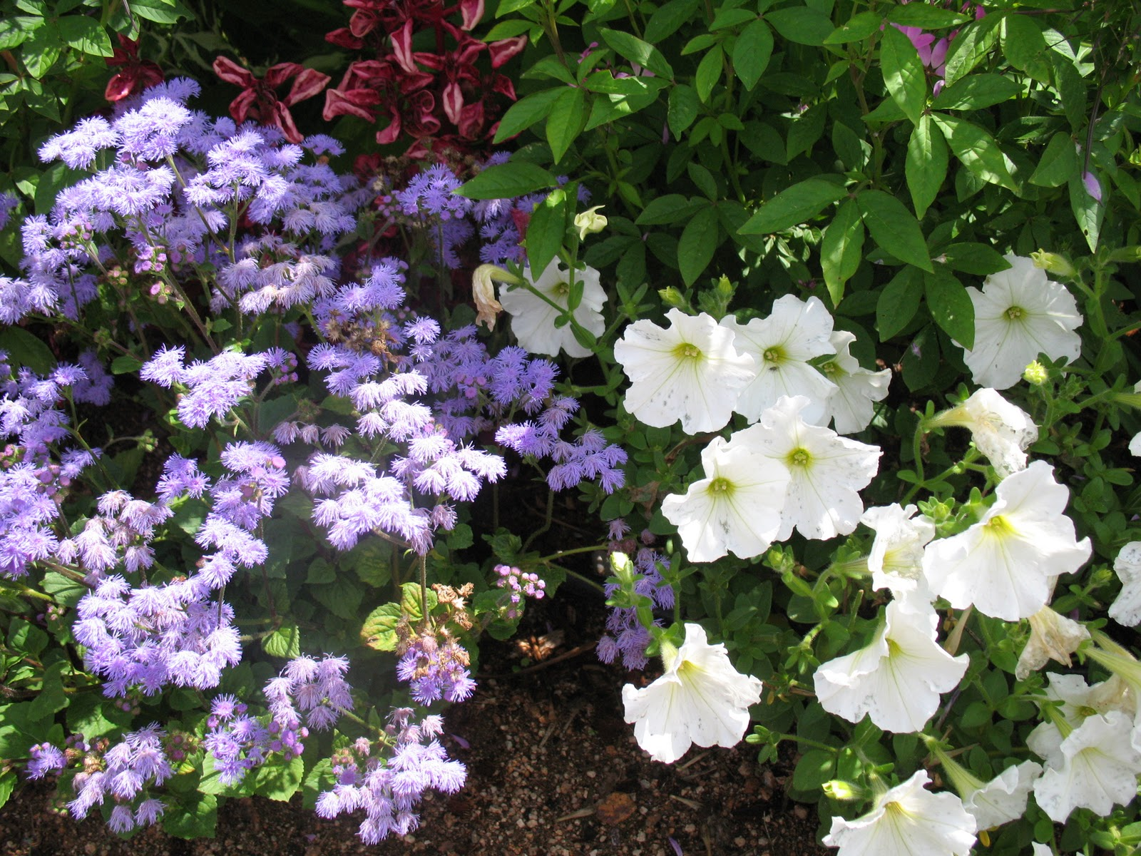 roses du jardin ch neland semis des fleurs annuelles. Black Bedroom Furniture Sets. Home Design Ideas