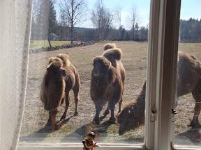 Kamelerna framför fönstern