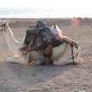 2010-11-26 07-07 nasz przyjaciel beduin na swym wierzchowcu.JPG