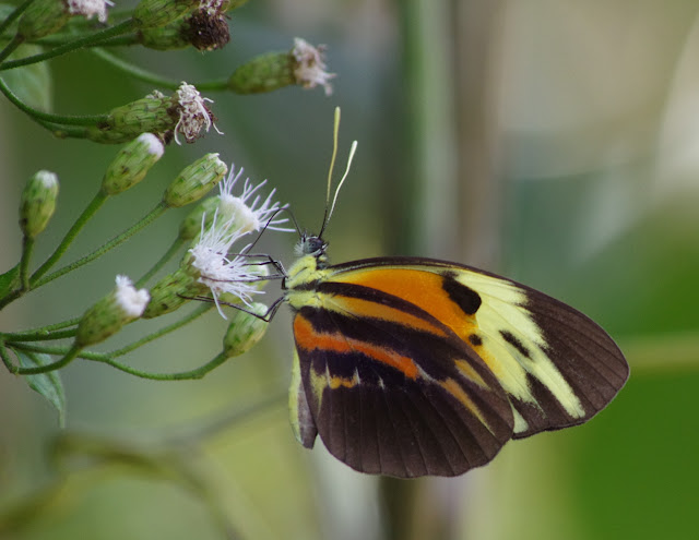 Perrhybris pamela pamela (STOLL, 1780), femelle. Saut Athanase, 4 novembre 2012. Photo : J.-M. Gayman