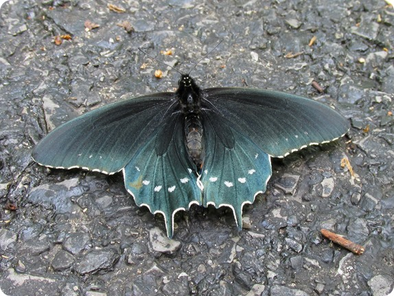 IMG_5768 Pipevine Swallowtail (Battus philenor) (3)
