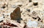 Sortbrun blåfugl, artaxerxes allous2.jpg