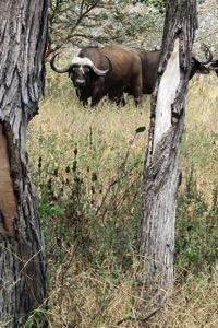 Water Buffalo 2
