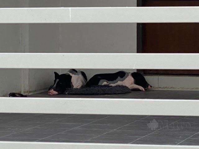 Pindah rumah, tinggal babi