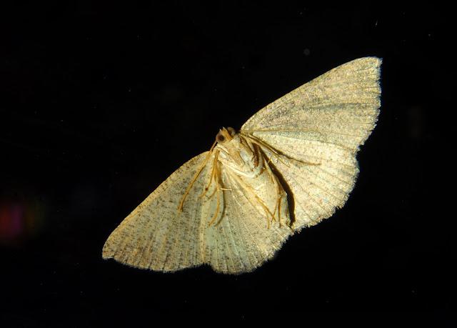 Geometridae : Ennominae : Caberini : Casbia farinalis ROSENSTOCK, 1885, verso (?). Umina Beach (NSW, Australie), 24 avril 2011. Photo : Barbara Kedzierski
