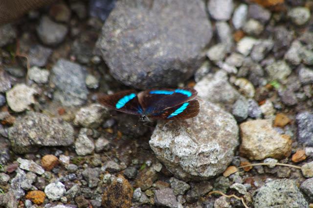 Diaethria nystographa nytographa (GUENÉE, 1872). Piste de Gualchan à Chical, 1900 m (Carchi, Équateur), 22 novembre 2013. Photo : J.-M. Gayman