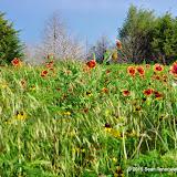 05-26-14 Texas Wildflowers - IMGP1397.JPG