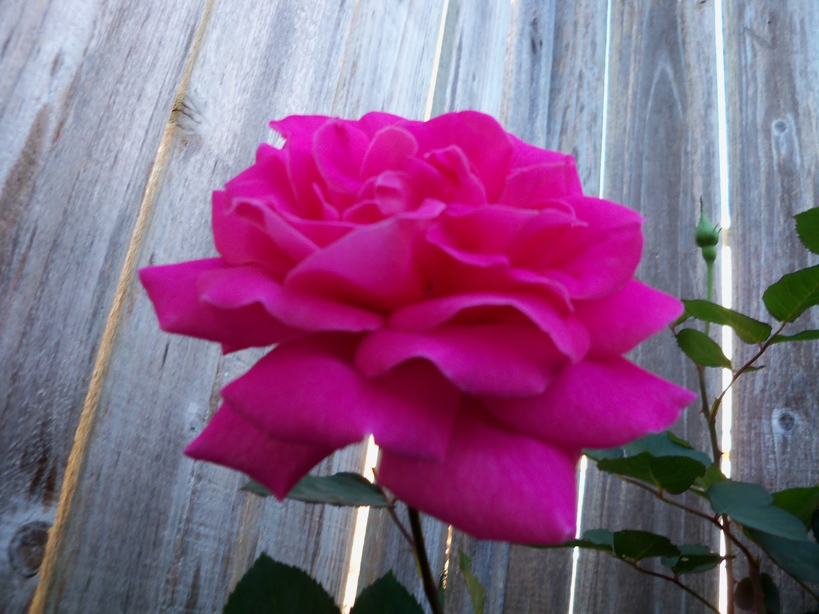 Gardening 2013 - 115_5393.JPG