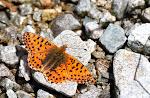 Balkanperlemorsommerfugl, graeca2.jpg