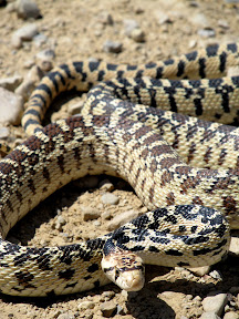 Gopher snake on Porphyry Bench