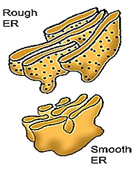 endoplasmic reticulu-smooth-er  rough-er (1)