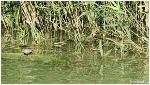 Черепашка. Река Камчия.