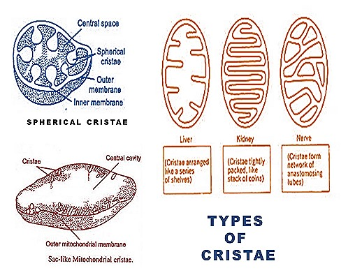 mitochondria -cristae-types