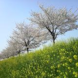 20100411__鶴見川沿いの桜