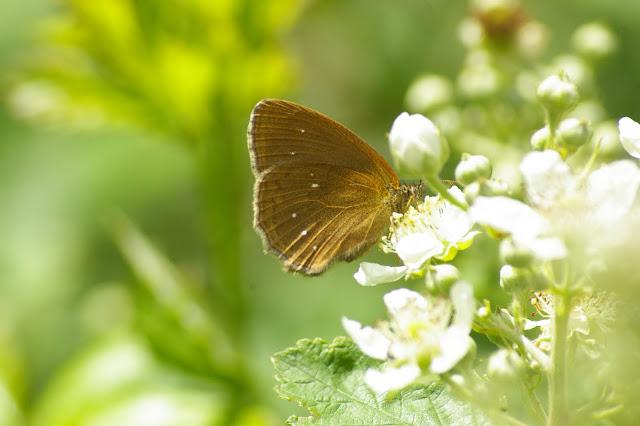 Aphantopus hyperantus (LINNAEUS, 1758) ab. arete, femelle. Combe de l'Air, Forêt de Châtillon (Côte-d'or), 16 juin 2007. Photo : J.-M. Gayman